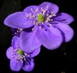 fiore-v