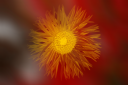 fior-giallo-1.png