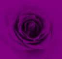 rosa-1.png