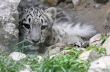 leopardo nevi cracovia