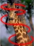giraffa beam