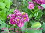 pensiero fiori pral