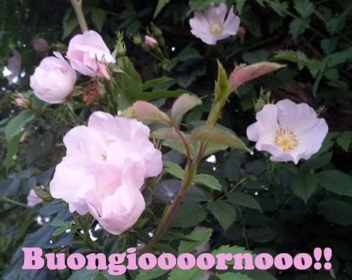buongiorno rosa rid
