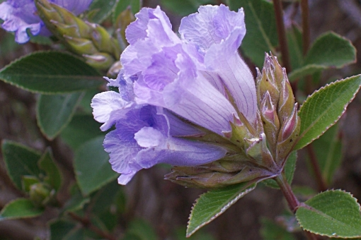 Kurinji-i-fiori-che-sbocciano-ogni-12-anni-01