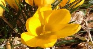 crocus-giallo